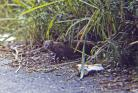 Herpestes%20javanicus%20%28small%20Asian%20mongoose%29%20Jamaica.jpg